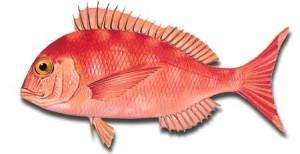 pargo-rojo